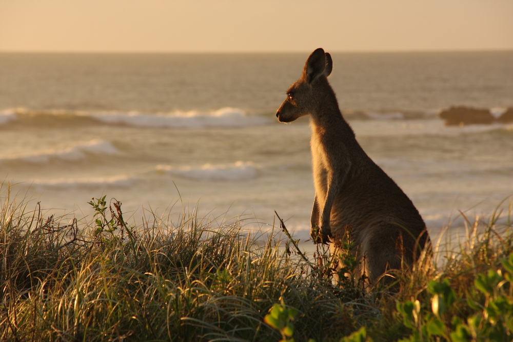 Kangaroo in sunset - Courtesy of Shutterstock